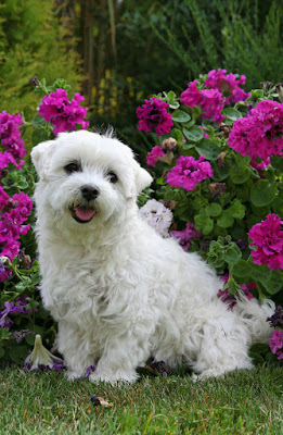 The top dog & cat posts of 2020. Photo shows a happy little white dog sitting in front of a rhododendron bush with purple flowers.