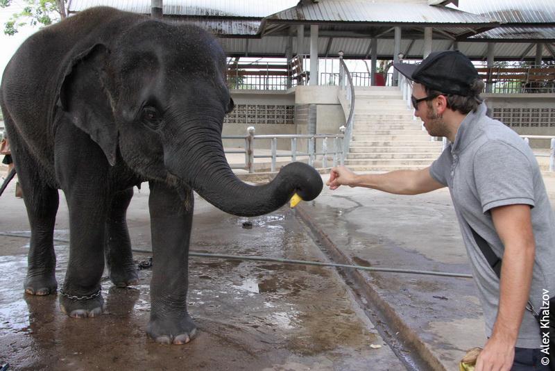 Слон и бананы