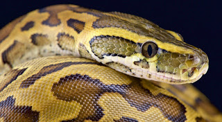 5. African Rock Python (Python sebae)- 7 meters (23 ft.)