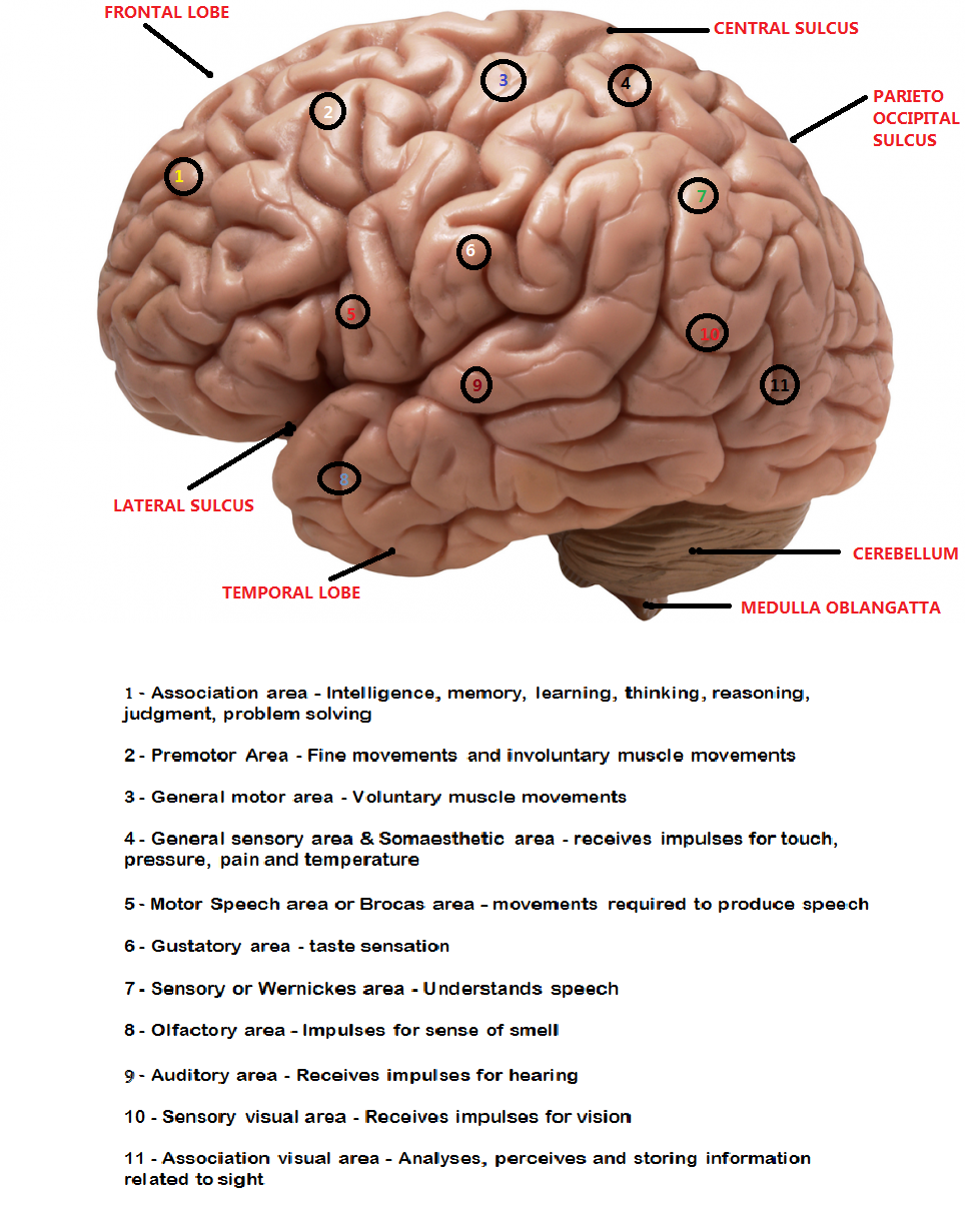 Mnemonic – Different areas of brain and their related