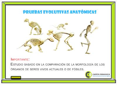 Pruebas Evolutivas Anatómicas