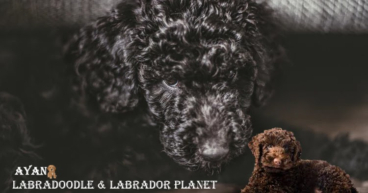 Some Essential Facts on Labradoodle Dog Breeds That People Must Know
