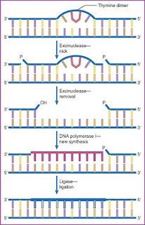 DNA polimerase pada NER
