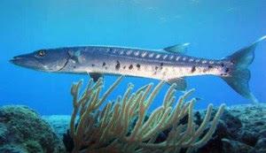 Morfologi Ikan barakuda