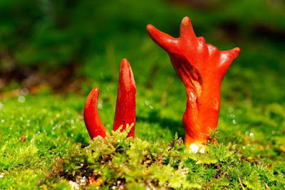 Podostroma cornu-damae, jamur koral api racun
