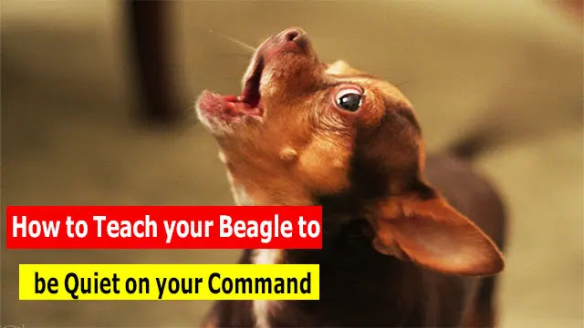 How to Teach your Beagle to be Quiet on your Command