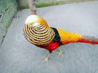7 Hal Tentang Golden Pheasant Yang Perlu Anda Tahu