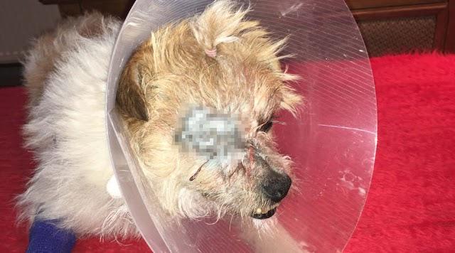 Légpuskával lőtték ki Wendy kutya szemét