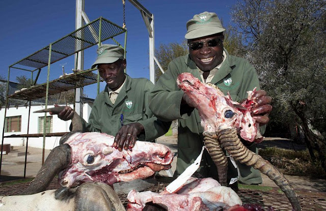 Africa Bloody Taxidermy Process
