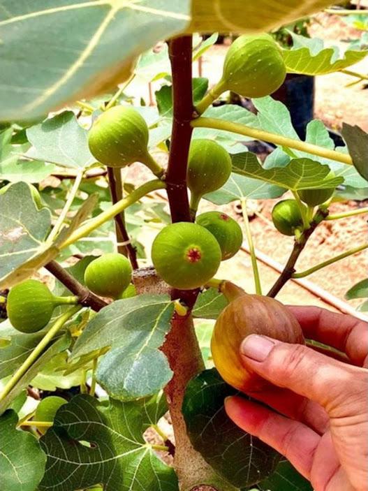 bibit buah tin fresh cangkok berbagai jenis Surakarta