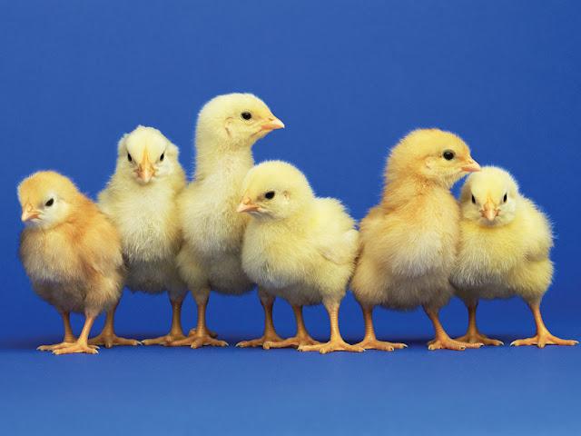 Vent Sexing Metode Ampuh Mengetahui Jenis Kelamin Anak Ayam