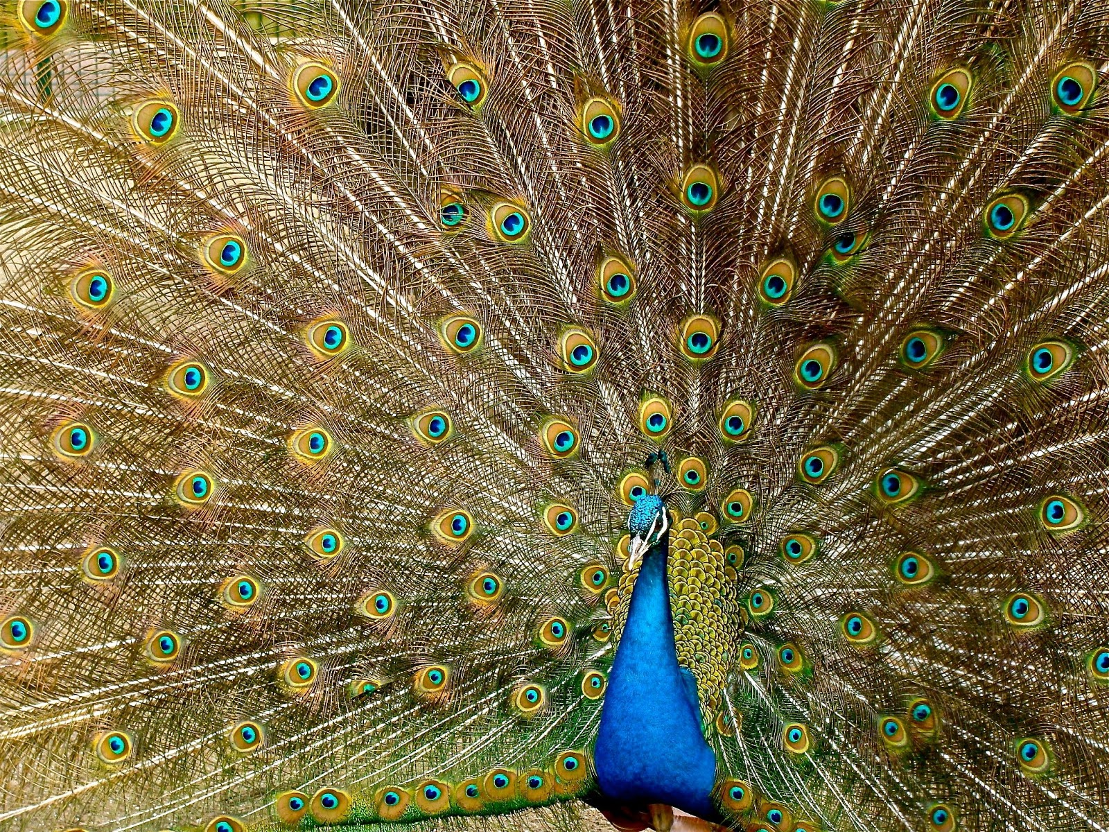 bird-pattern-colorful-green-peacock-pictures
