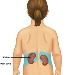Where kidney are the located and its diagrams ~ Human Anatomy