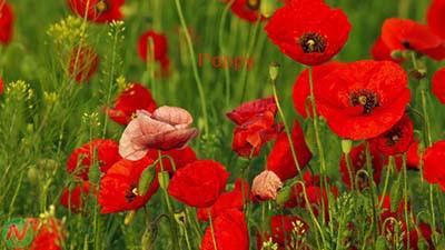 poppy flower, poppy