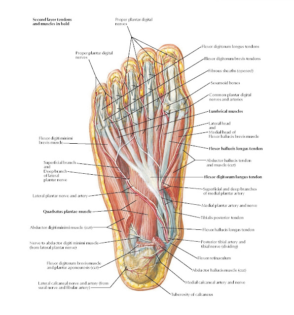 Muscles of Plantar Region of Foot: Second Layer Anatomy
