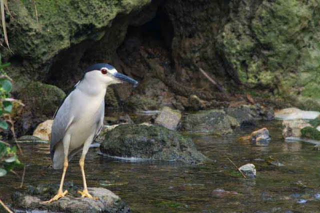 bird, image, Night Heron, before