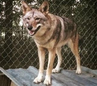 coydog hibrido coyote y perra domestica