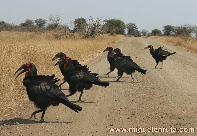Hornbills-Kruger-Sudáfrica