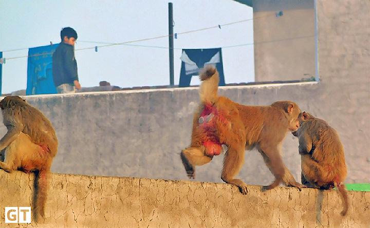 monkeys-hapur