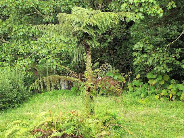 cyatheaceae cyathea bicrenatum tree costa rica