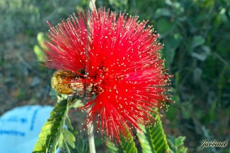Flores em formato de pompom