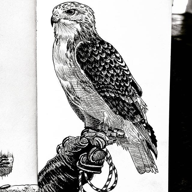 11-Red-Tailed-Hawk-Tim-Rees-www-designstack-co