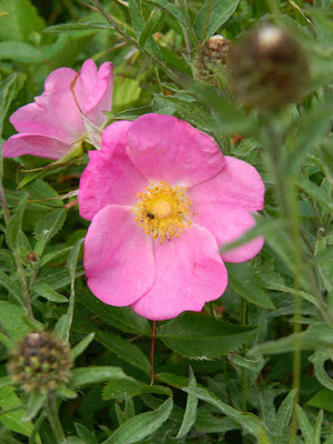 Wild roses at Skyline Trail Cape Breton Highlands National Park by garden muses-not another Toronto gardening blog