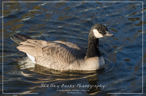 Cackling Goose. Copyright © Shelley Banks, All Rights Reserved.
