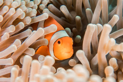 Clownfish are problematic to evolutionists in a number of ways. Not only the way they have a mutually beneficial relationship with anemones, but numerous traits defy Darwinism.