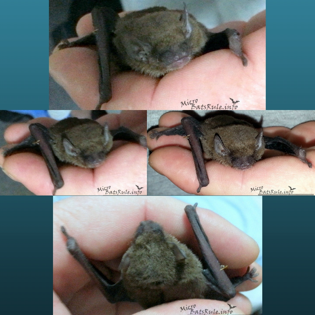 Microbat that was in care