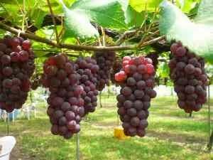 13 manfaat buah anggur untuk mengobati penyakit