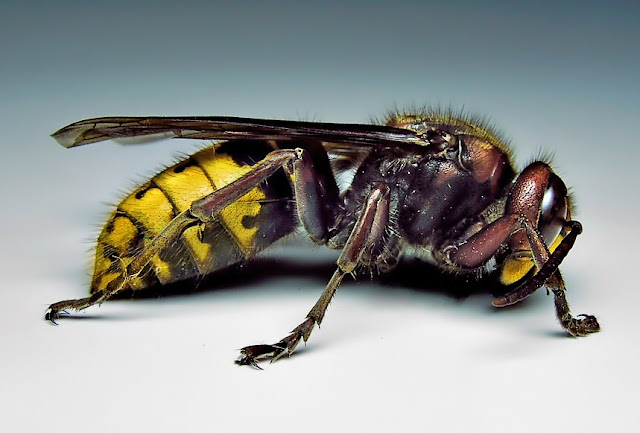 Asian Giant Hornet facts and information 5
