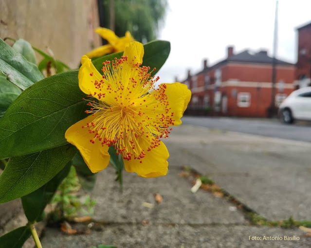 Flor amarela em destaque, com calçada e prédios ao fundo, em Manchester, Inglaterra
