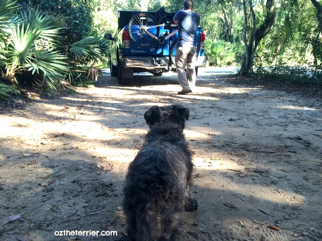 Oz the Terrier at a campsite in Anastasia State Park, St. Augustine, Florida