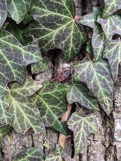 """Pyrrhocoris apteris – commonly called the """"firebug""""."""