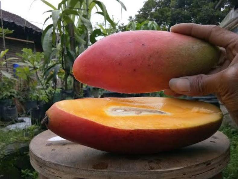 Bibit Mangga Red Ivory Okulasi Berkualitas Super Jayapura