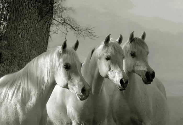 Rikishi Car Wallpaper Michaels Beautiful White Horses
