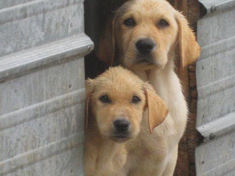 Retriever Labrador Miniature Labrador Retriever