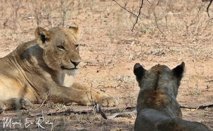 Leonas en Tshokwane, Kruger