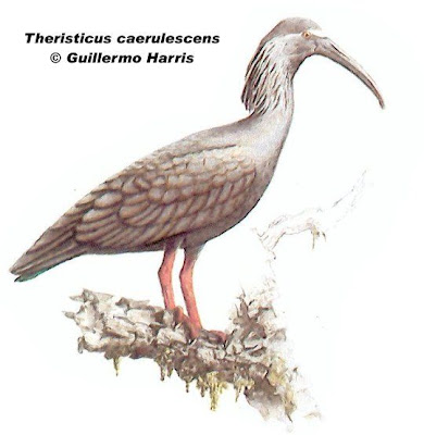 Bandurria mora Theristicus caerulescens