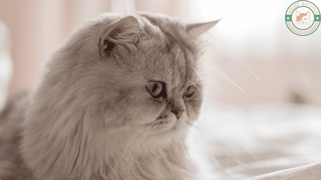 Foto de gato Persa