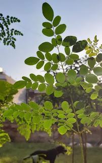 Moringa (Moringa Oleifera)  Herbal Arcade