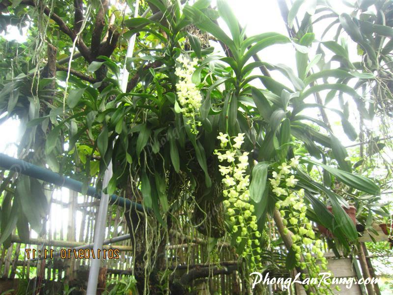 Quế Lan Hương nở hoa