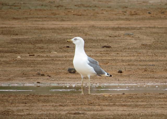Yellow-legged Gull - Mareta de Fimapaire, Fuerteventura