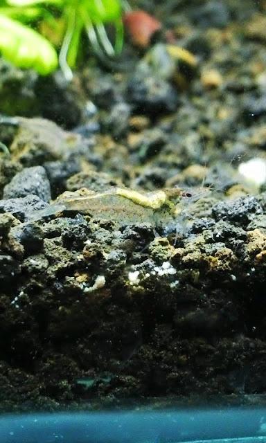 Udang Pemakan Algae Si Amano Shrimp