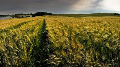 green corn field hd resolution wallpaper
