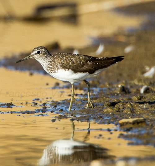 Indian birds - Image of Green sandpiper - Tringa ochropus