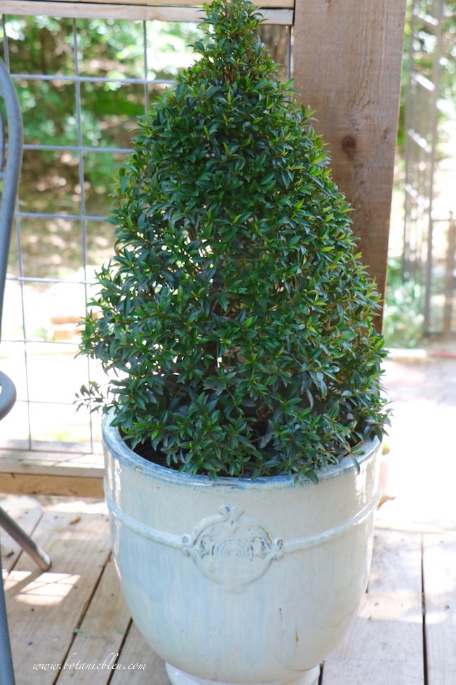 New French Garden Urn Allows Cone Topiary to Grow Larger
