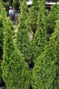 Jual Pohon Cemara Pua Pua / Natal