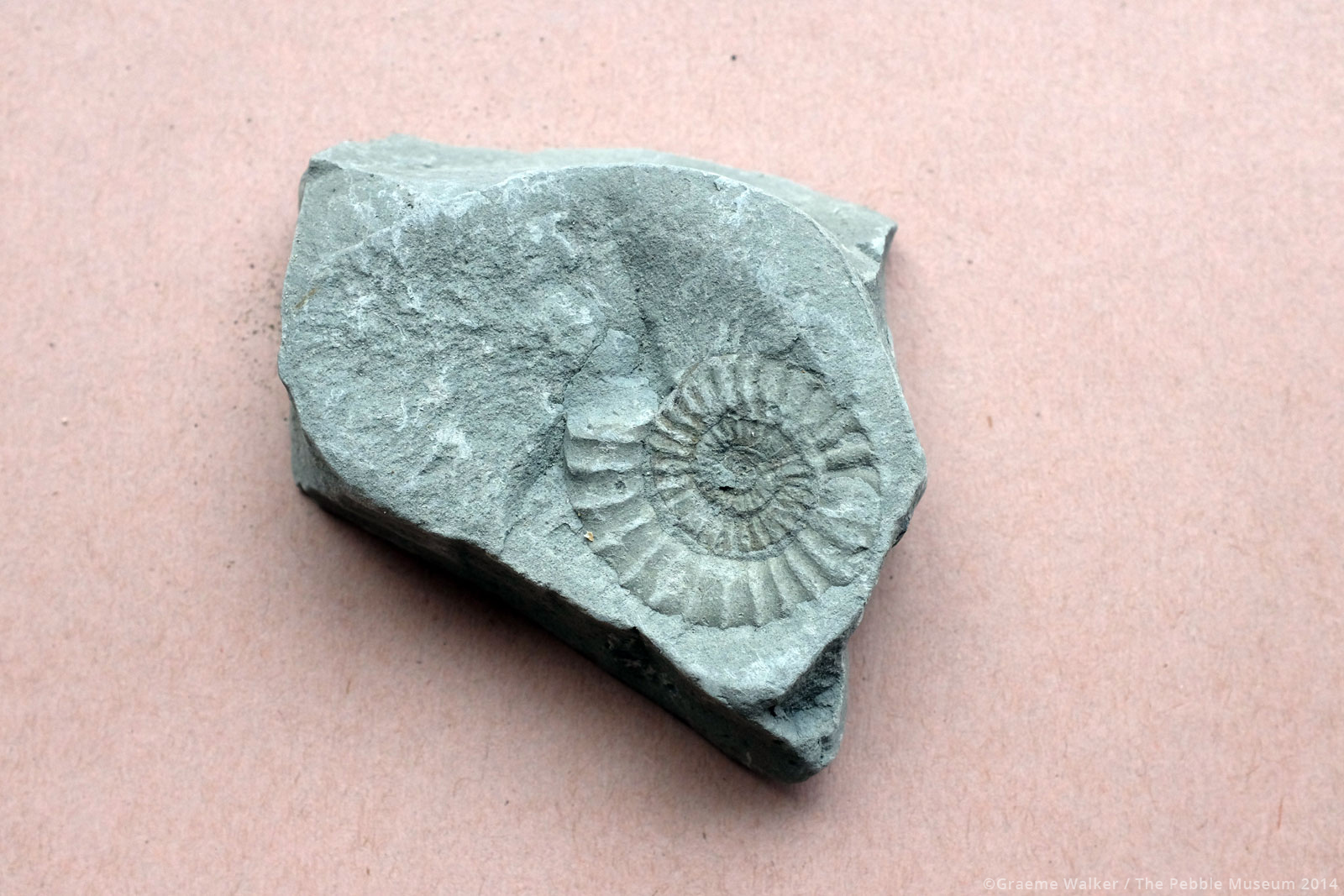 Ammonite Fossil © Graeme Walker / The Pebble Museum 2019